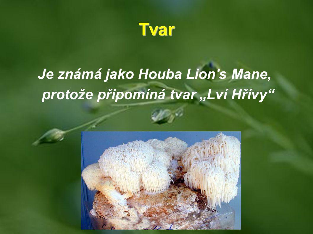 """Tvar Je známá jako Houba Lion's Mane, protože připomíná tvar """"Lví Hřívy"""""""