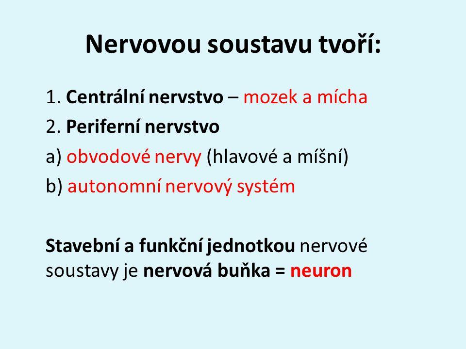 Nervovou soustavu tvoří: 1. Centrální nervstvo – mozek a mícha 2.