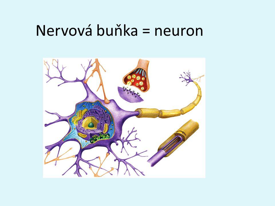 Nervová buňka = neuron