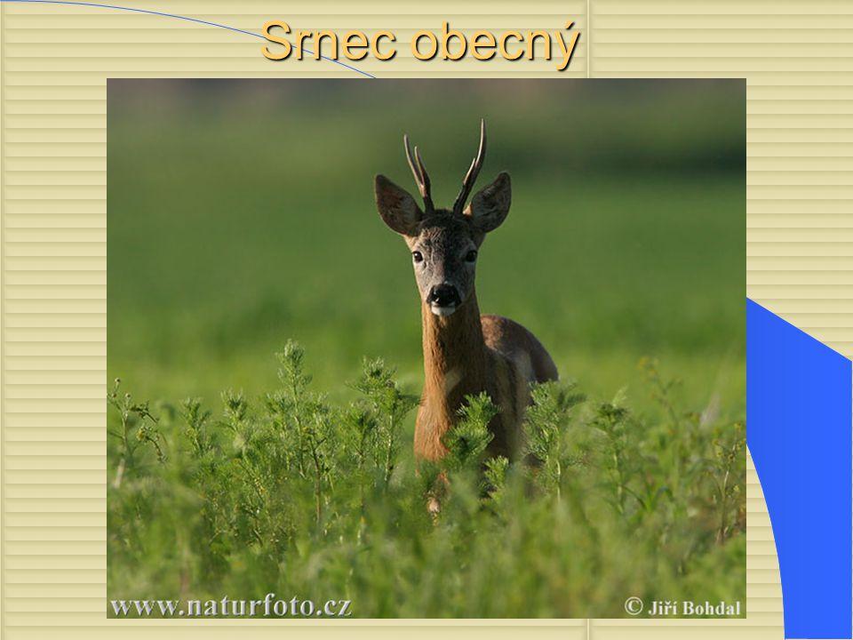 Něco o nich Nejmenší evrop ský zástupce jelenovitých.