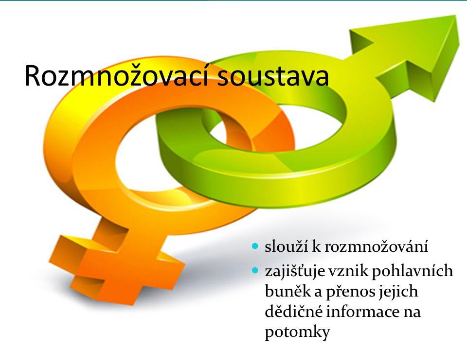 Rozmnožovací soustava slouží k rozmnožování zajišťuje vznik pohlavních buněk a přenos jejich dědičné informace na potomky