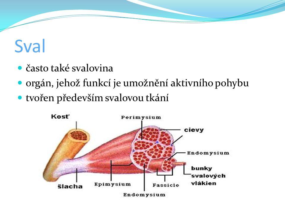 Sval často také svalovina orgán, jehož funkcí je umožnění aktivního pohybu tvořen především svalovou tkání