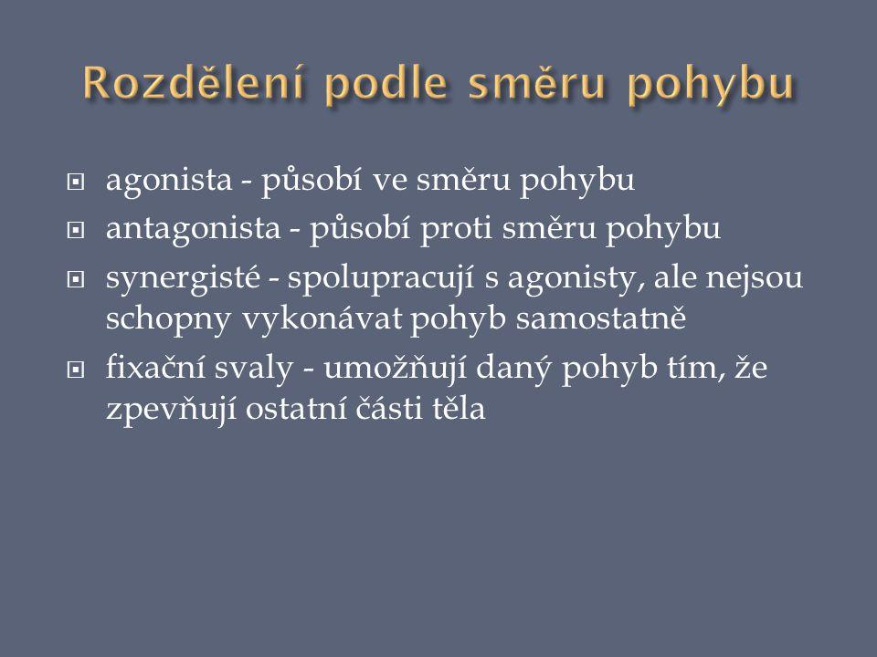  agonista - působí ve směru pohybu  antagonista - působí proti směru pohybu  synergisté - spolupracují s agonisty, ale nejsou schopny vykonávat poh