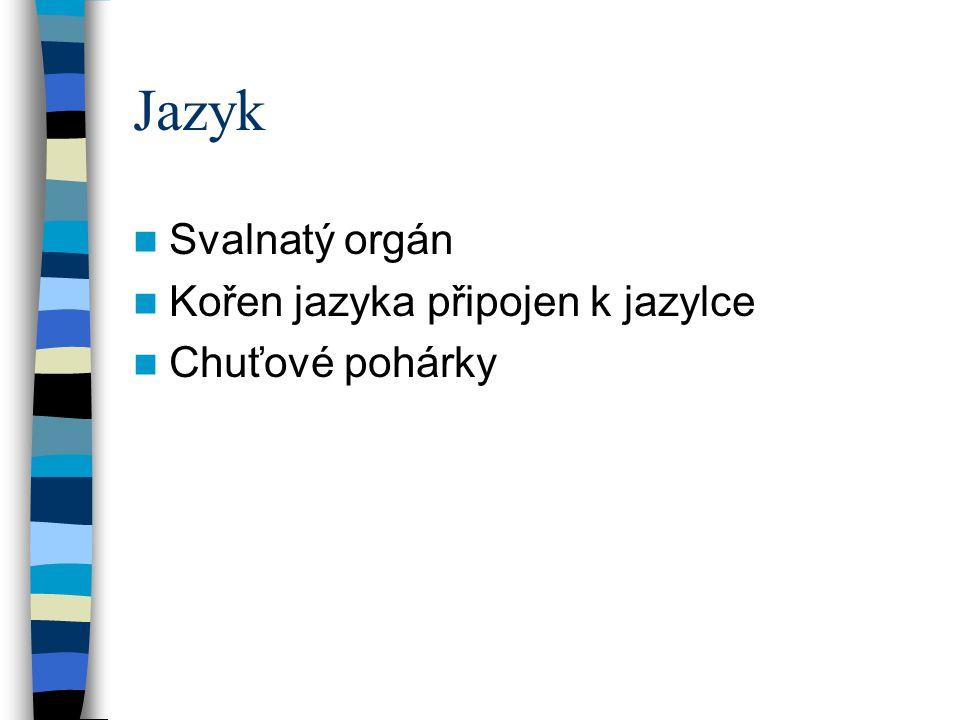Jazyk Svalnatý orgán Kořen jazyka připojen k jazylce Chuťové pohárky