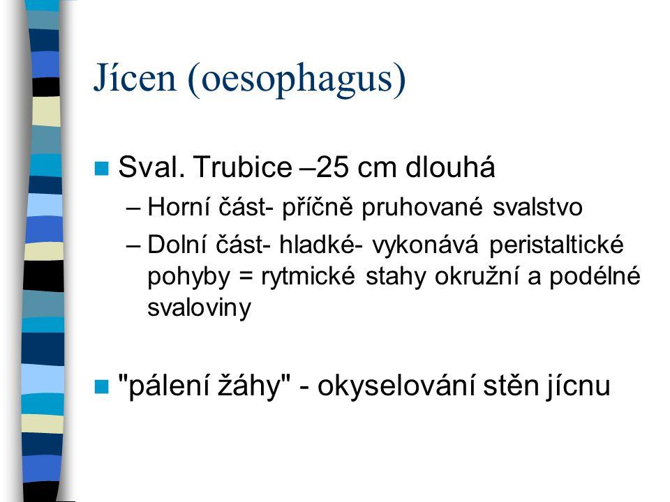 Jícen (oesophagus) Sval. Trubice –25 cm dlouhá –Horní část- příčně pruhované svalstvo –Dolní část- hladké- vykonává peristaltické pohyby = rytmické st