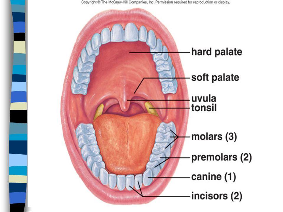 Trávení a vstřebávání v tenkém střevě Vstřebávání (resorpce): přechod látek střevní sliznicí do vnitřního prostředí (krve, lymfy) 1) Volná difuze 2) Zprostředkovaná difuze 3) Aktivní přenos