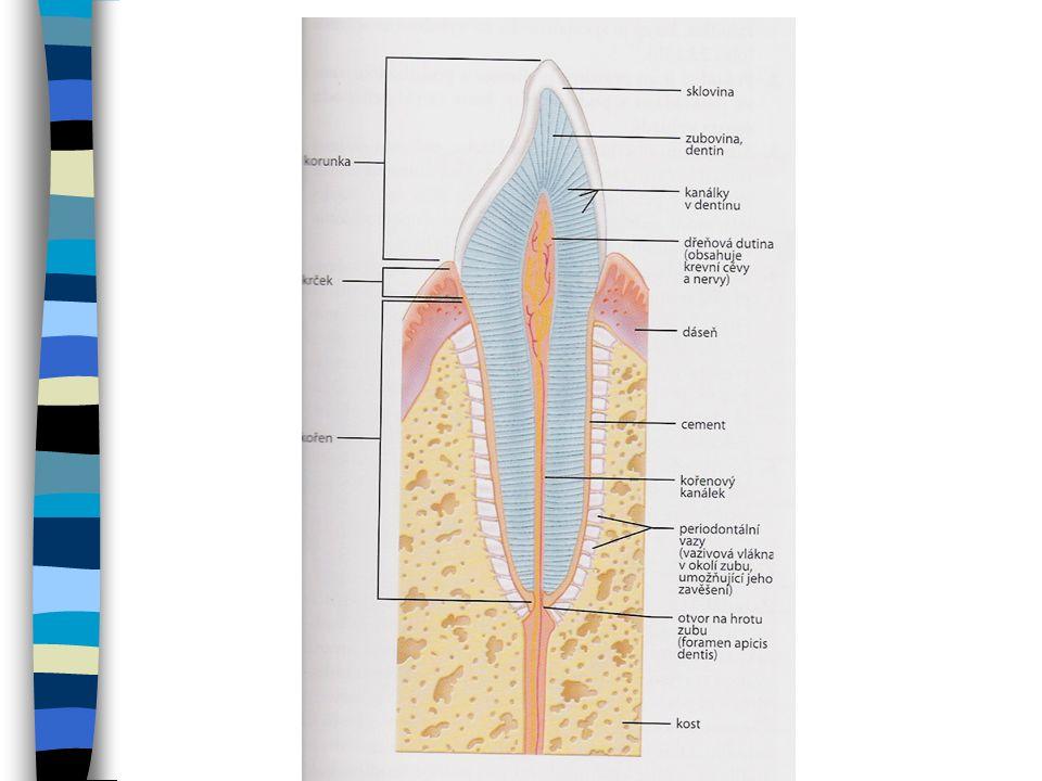 Typy zubů V každé půlce čelisti jsou: –2 řezáky (incisivy) –1 špičák (caniny) –2 zuby třenové (premolares) –3 stoličky (molares) Trvalý chrup 32 zubů Mléčný chrup 20 zubů