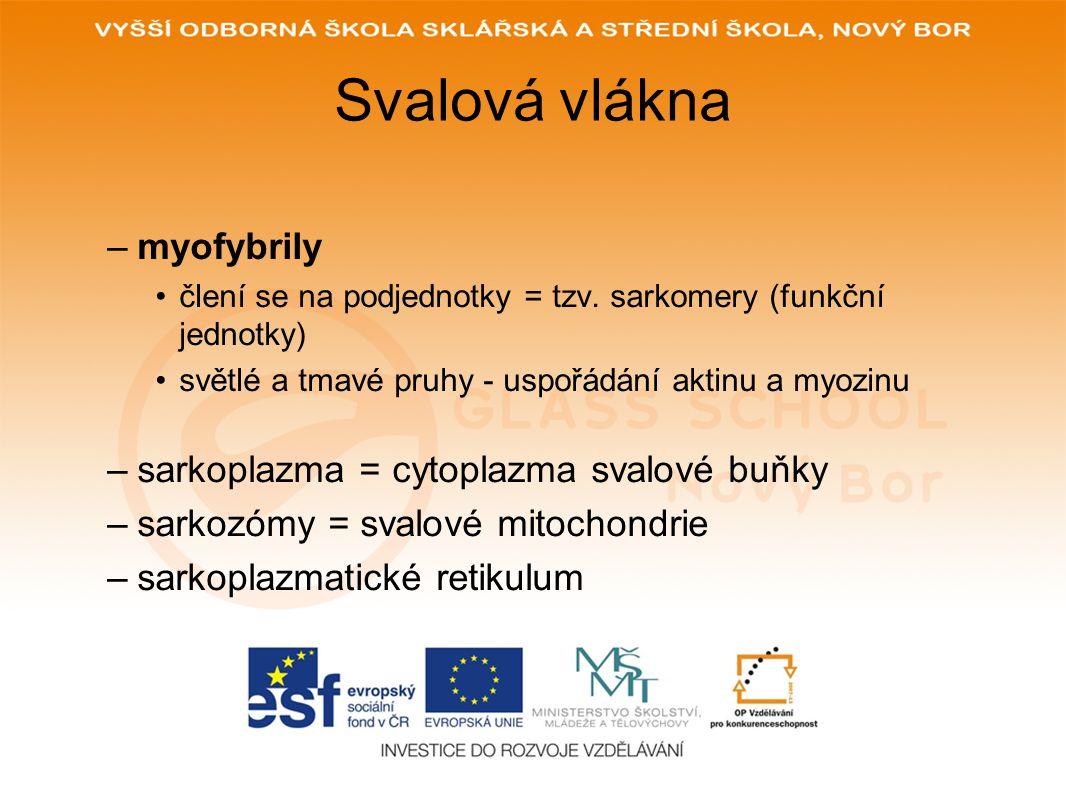 Svalová vlákna –myofybrily člení se na podjednotky = tzv. sarkomery (funkční jednotky) světlé a tmavé pruhy - uspořádání aktinu a myozinu –sarkoplazma