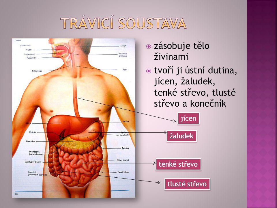 zzásobuje tělo živinami ttvoří ji ústní dutina, jícen, žaludek, tenké střevo, tlusté střevo a konečník jícen žaludek tenké střevo tlusté střevo