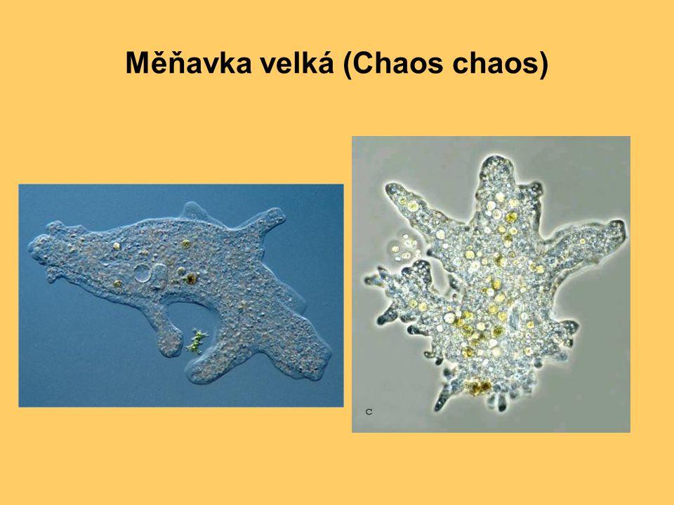 Měňavka velká (Chaos chaos)