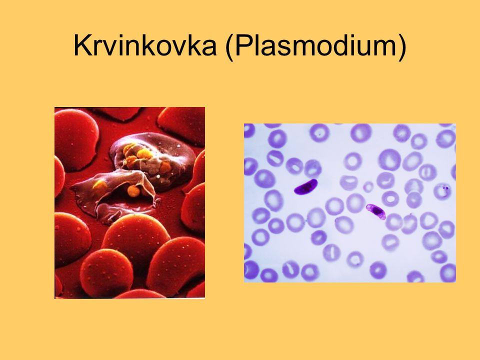 Krvinkovka (Plasmodium)
