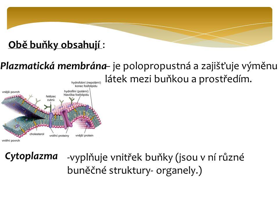 Obě buňky obsahují : Plazmatická membrána– je polopropustná a zajišťuje výměnu látek mezi buňkou a prostředím. Cytoplazma -vyplňuje vnitřek buňky (jso