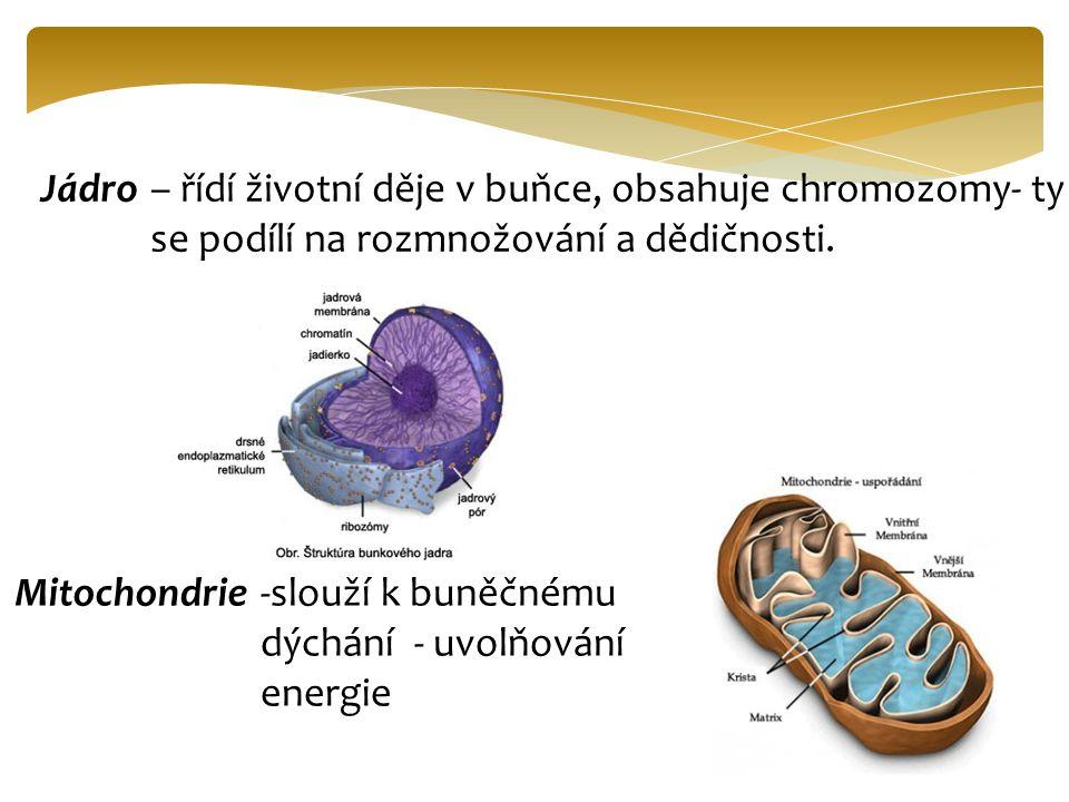 Jádro– řídí životní děje v buňce, obsahuje chromozomy- ty se podílí na rozmnožování a dědičnosti. Mitochondrie-slouží k buněčnému dýchání - uvolňování