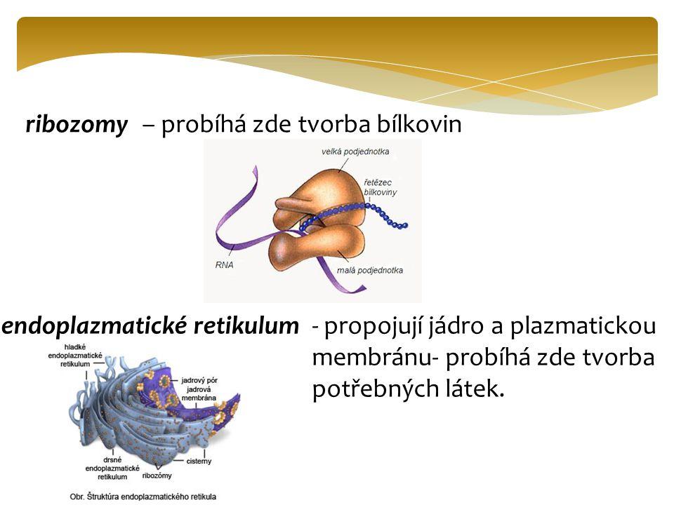 Další buněčné struktury: buněčná stěna- udává tvar a je polopropustná (není u živočichů) chloroplasty - obsahují chlorofyl-zeleň listovou → fotosyntéza.