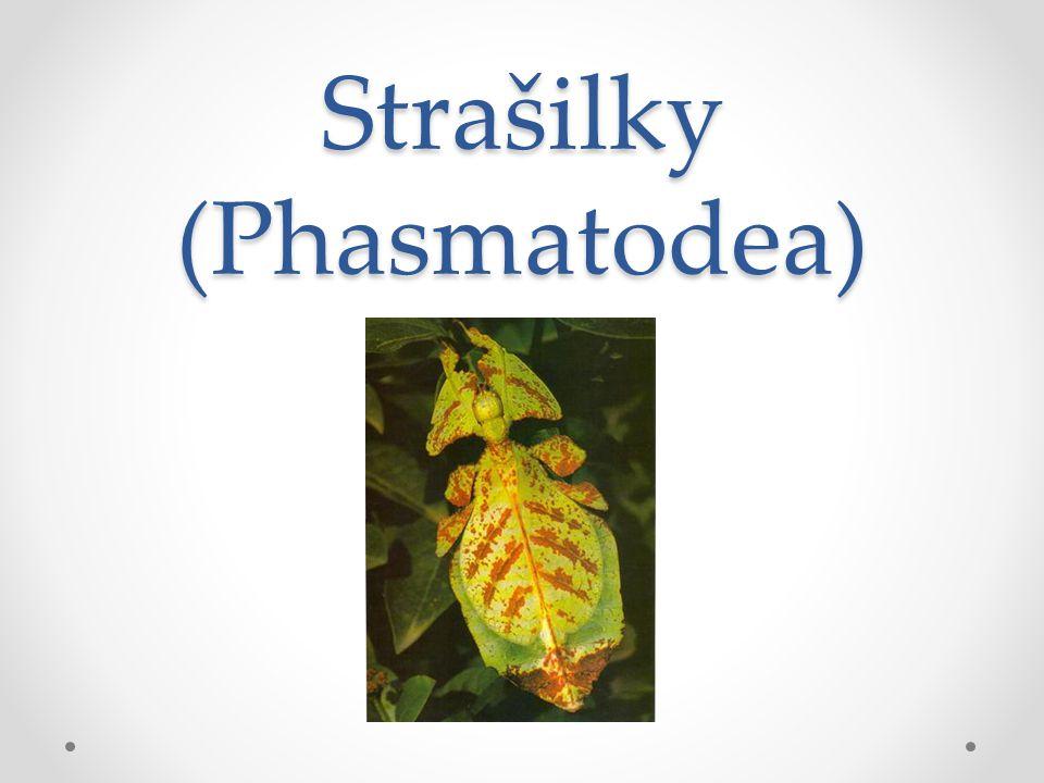 Strašilky (Phasmatodea)