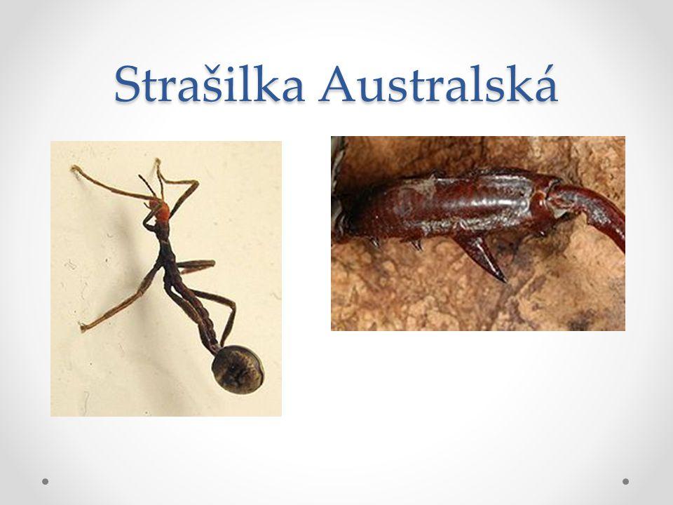 Strašilka Australská