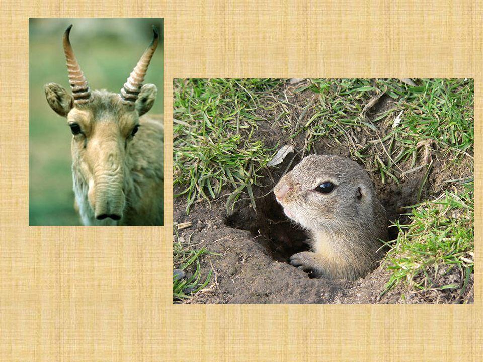 Stepi Severoamerické prérie centrální část USA a okrajová část Kanady dva základní typy prérií: a)vysokostébelné (proso, vousatice) -vlhčí území b) krátkostébelné (sušší oblasti) představitelé velkých herbivorů (bizon, vidloroh) saranče kojot prériový