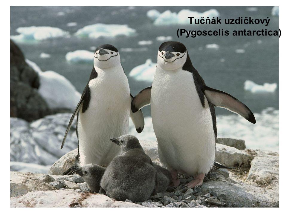 Tučňák uzdičkový (Pygoscelis antarctica)