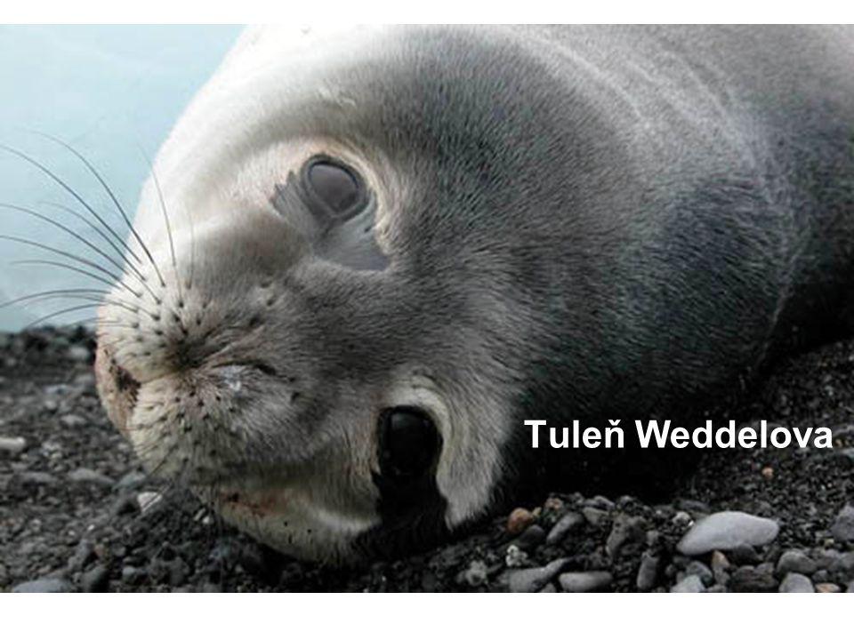 Tuleň Weddelova