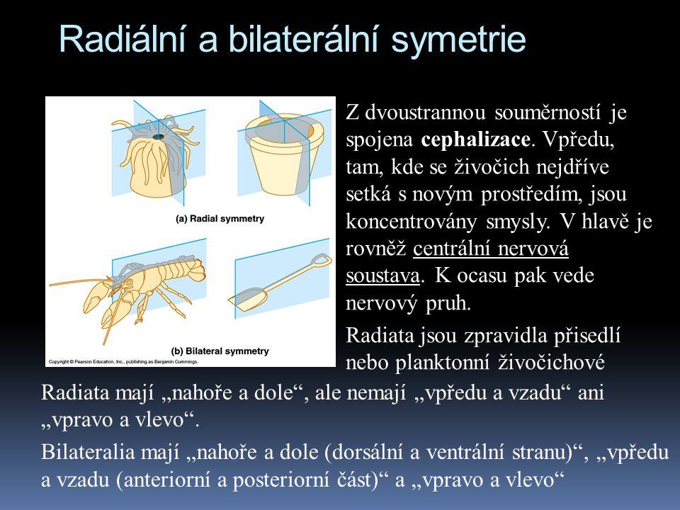 """Radiální a bilaterální symetrie Radiata mají """"nahoře a dole , ale nemají """"vpředu a vzadu ani """"vpravo a vlevo ."""
