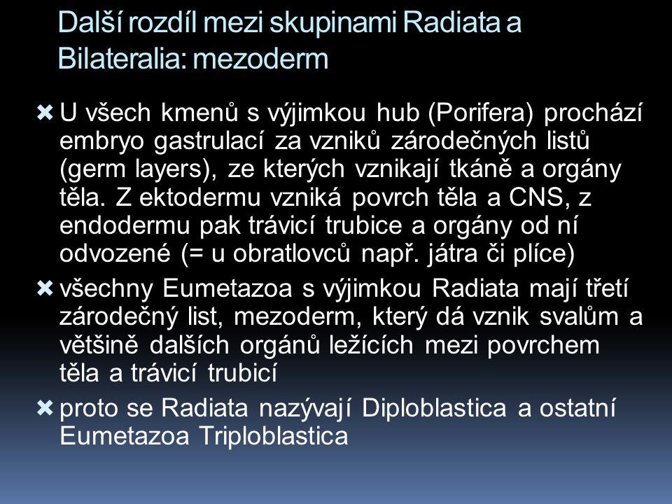 Další rozdíl mezi skupinami Radiata a Bilateralia: mezoderm  U všech kmenů s výjimkou hub (Porifera) prochází embryo gastrulací za vzniků zárodečných listů (germ layers), ze kterých vznikají tkáně a orgány těla.