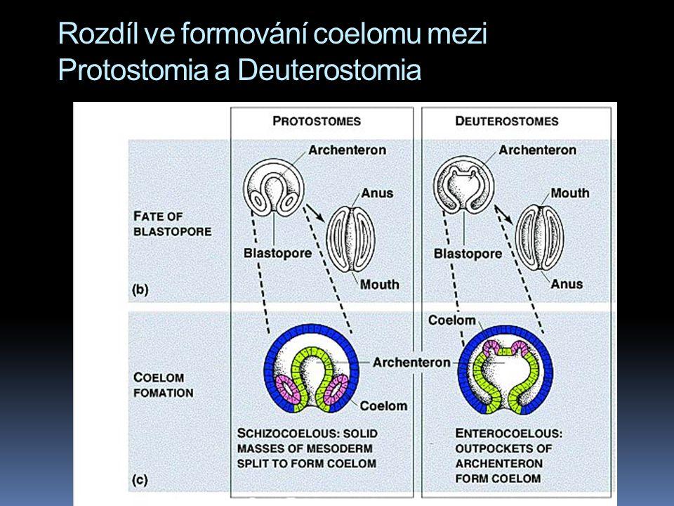 Rozdíl ve formování coelomu mezi Protostomia a Deuterostomia