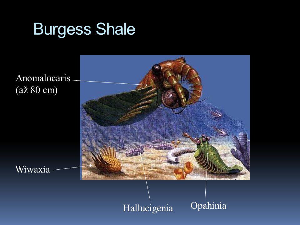 Burgess Shale Anomalocaris (až 80 cm) Hallucigenia Opahinia Wiwaxia