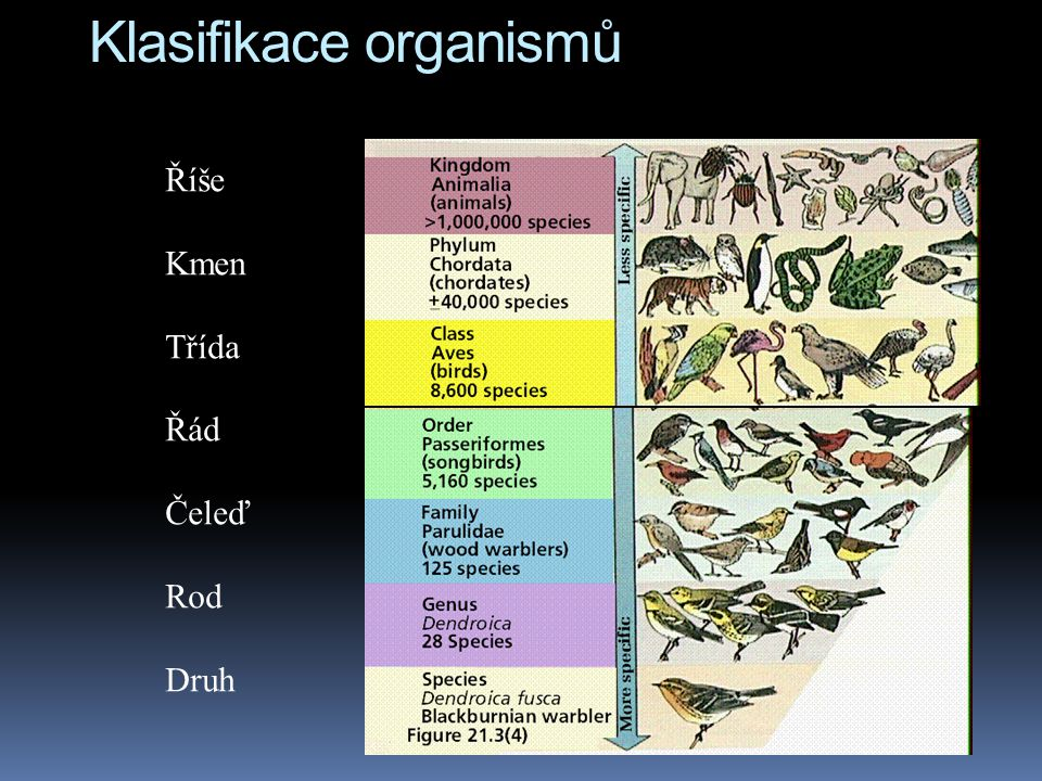Klasifikace organismů Říše Kmen Třída Řád Čeleď Rod Druh