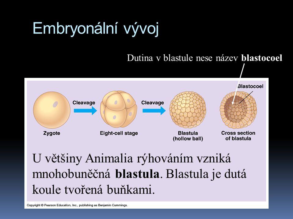 Embryonální vývoj U většiny Animalia rýhováním vzniká mnohobuněčná blastula.