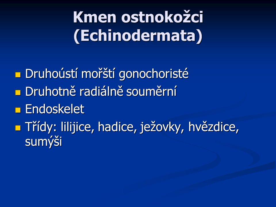 Kmen ostnokožci (Echinodermata) Druhoústí mořští gonochoristé Druhoústí mořští gonochoristé Druhotně radiálně souměrní Druhotně radiálně souměrní Endo