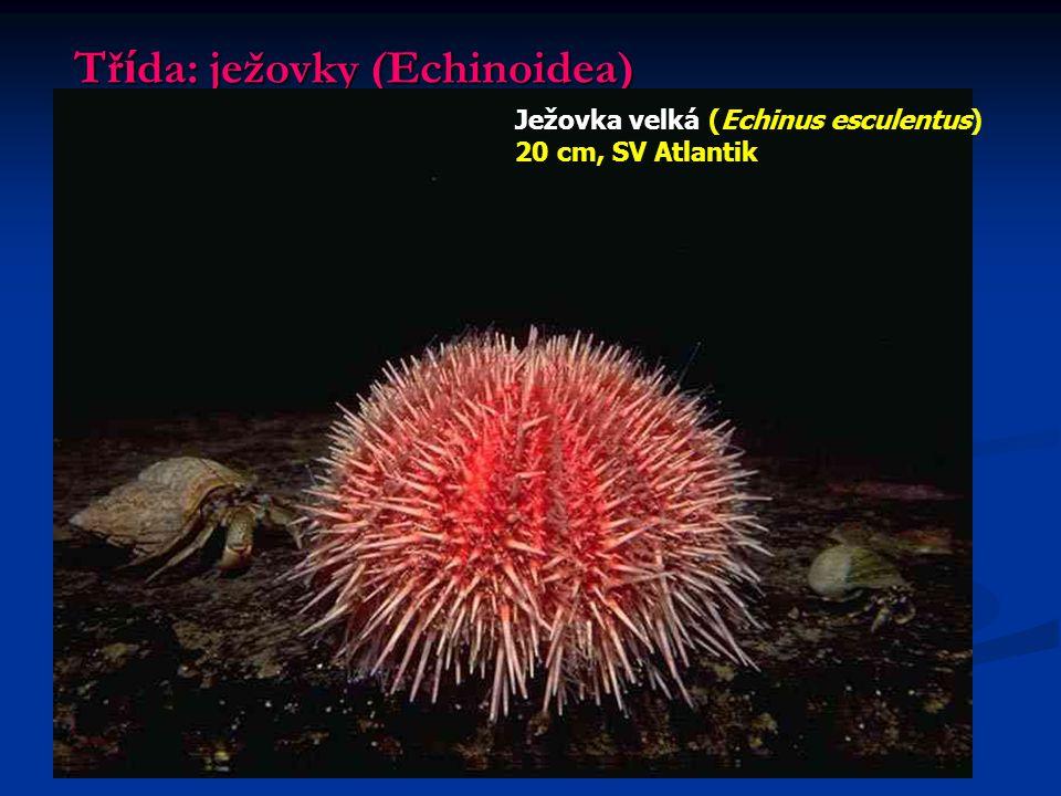 Tř í da: ježovky (Echinoidea) Ježovka velká (Echinus esculentus) 20 cm, SV Atlantik