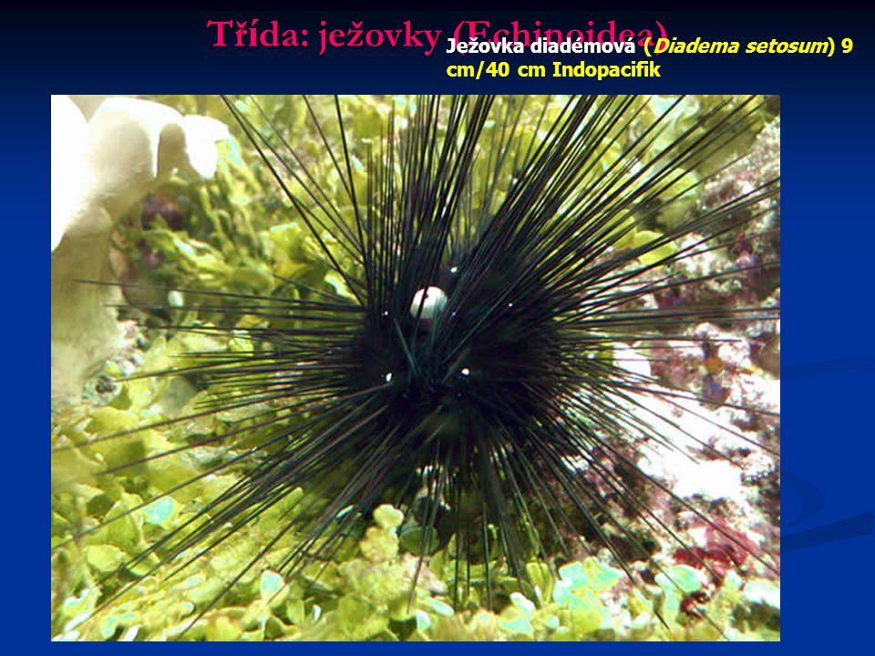 Tř í da: ježovky (Echinoidea) Ježovka diadémová (Diadema setosum) 9 cm/40 cm Indopacifik