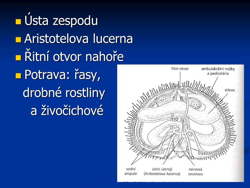 Ústa zespodu Ústa zespodu Aristotelova lucerna Aristotelova lucerna Řitní otvor nahoře Řitní otvor nahoře Potrava: řasy, Potrava: řasy, drobné rostlin