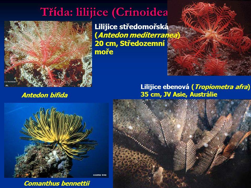 Tř í da: lilijice (Crinoidea) Antedon bifida Lilijice středomořská (Antedon mediterranea) 20 cm, Středozemní moře Comanthus bennettii Lilijice ebenová