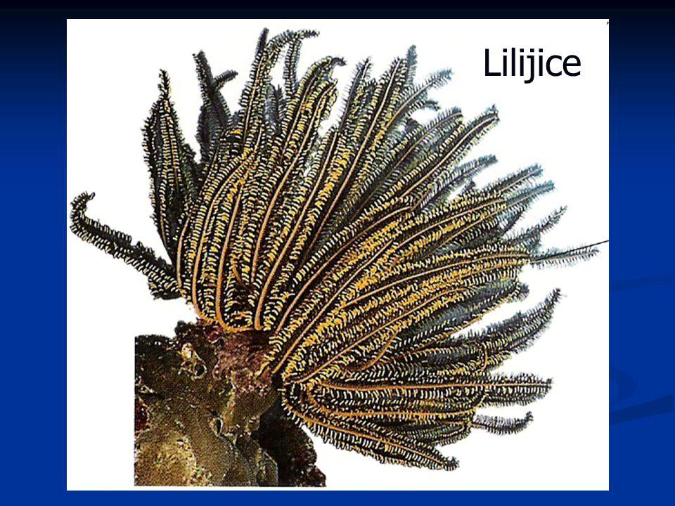 Lilijice