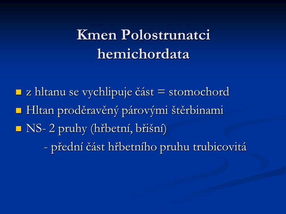 Kmen Polostrunatci hemichordata z hltanu se vychlipuje část = stomochord z hltanu se vychlipuje část = stomochord Hltan proděravěný párovými štěrbinam