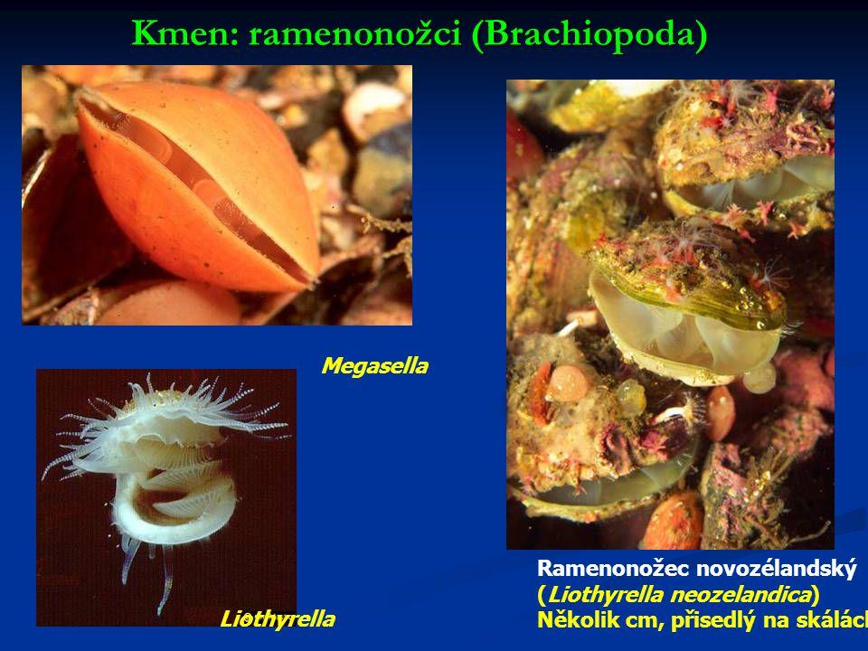Kmen: ramenonožci (Brachiopoda) Megasella Ramenonožec novozélandský (Liothyrella neozelandica) Několik cm, přisedlý na skálách Liothyrella