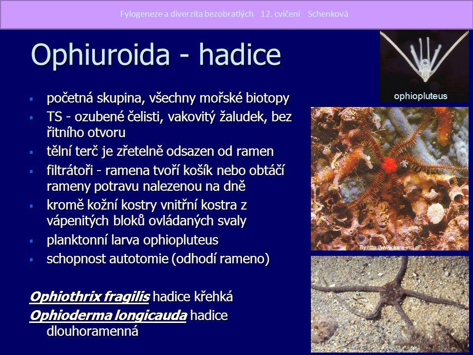Ophiuroida - hadice  početná skupina, všechny mořské biotopy  TS - ozubené čelisti, vakovitý žaludek, bez řitního otvoru  tělní terč je zřetelně od