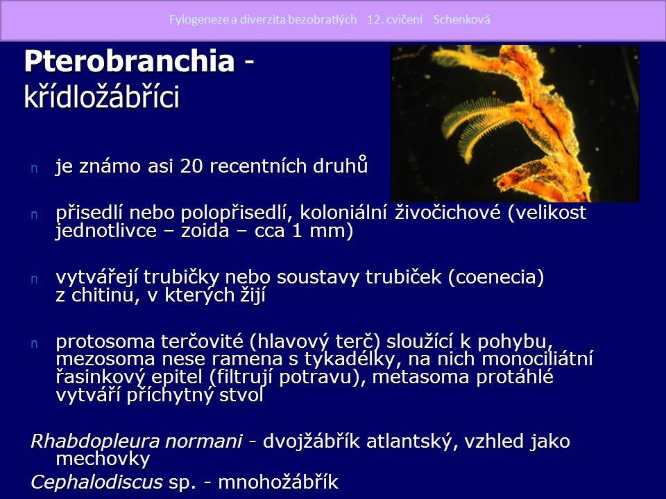 Pterobranchia - křídložábříci n je známo asi 20 recentních druhů n přisedlí nebo polopřisedlí, koloniální živočichové (velikost jednotlivce – zoida –