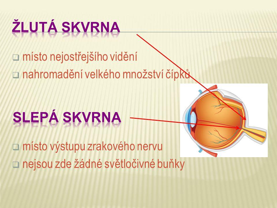  místo nejostřejšího vidění  nahromadění velkého množství čípků  místo výstupu zrakového nervu  nejsou zde žádné světločivné buňky