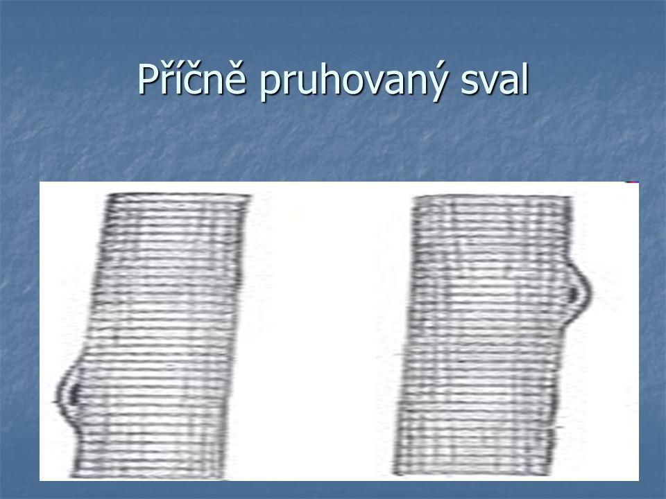 """SVALOVÁ TKÁŇ SRDEČNÍ základem jsou svalová vlákna tvořená jednojadernými úseky (""""buňkami )"""