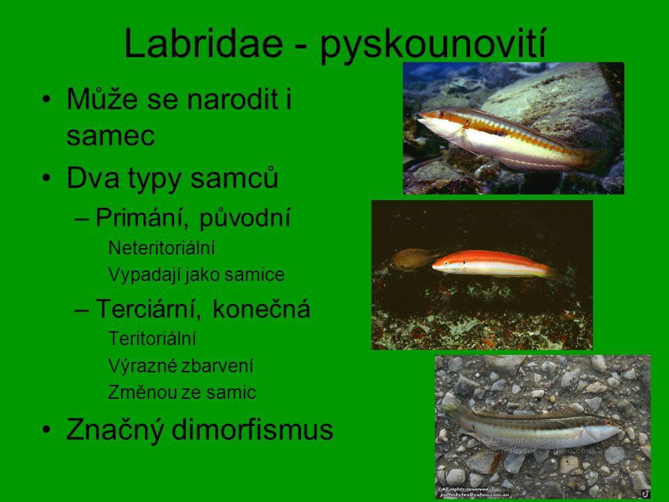 Labridae - pyskounovití Může se narodit i samec Dva typy samců –Primání, původní Neteritoriální Vypadají jako samice –Terciární, konečná Teritoriální