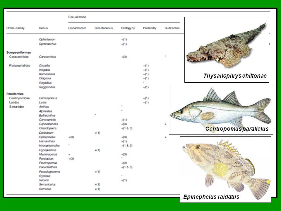 Thysanophrys chiltonae Centropomus parallelus Epinephelus raidatus