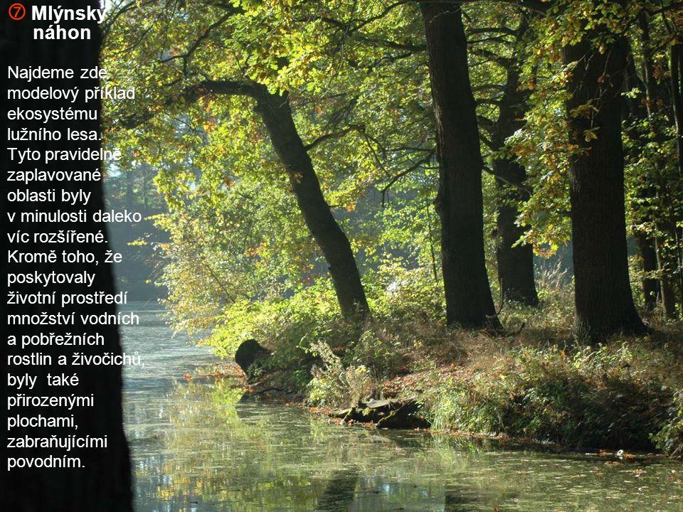  Mlýnský náhon Najdeme zde modelový příklad ekosystému lužního lesa. Tyto pravidelně zaplavované oblasti byly v minulosti daleko víc rozšířené. Kromě