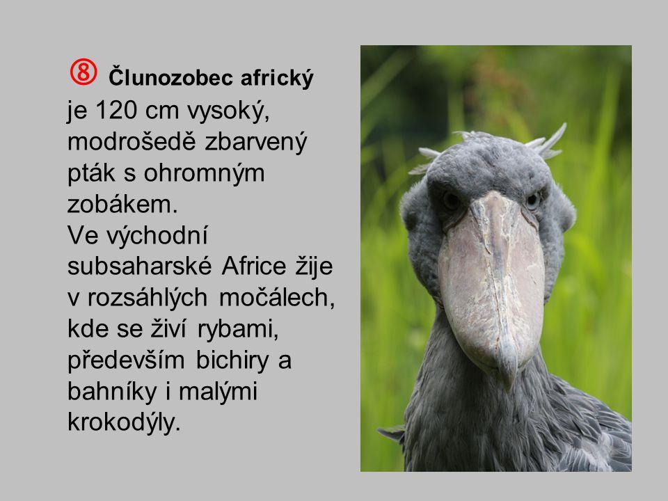  Člunozobec africký je 120 cm vysoký, modrošedě zbarvený pták s ohromným zobákem. Ve východní subsaharské Africe žije v rozsáhlých močálech, kde se ž
