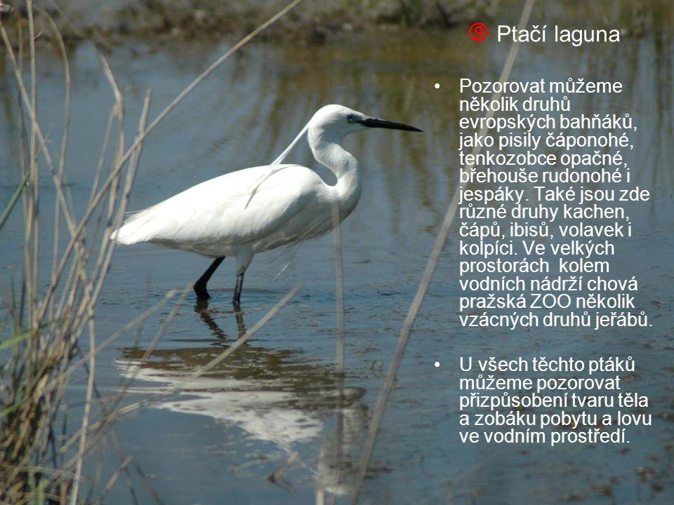  Ptačí laguna Pozorovat můžeme několik druhů evropských bahňáků, jako pisily čáponohé, tenkozobce opačné, břehouše rudonohé i jespáky. Také jsou zde