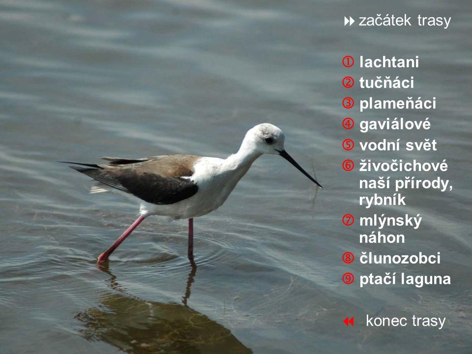  Lachtani jsou šelmy skupiny ploutvonožců.