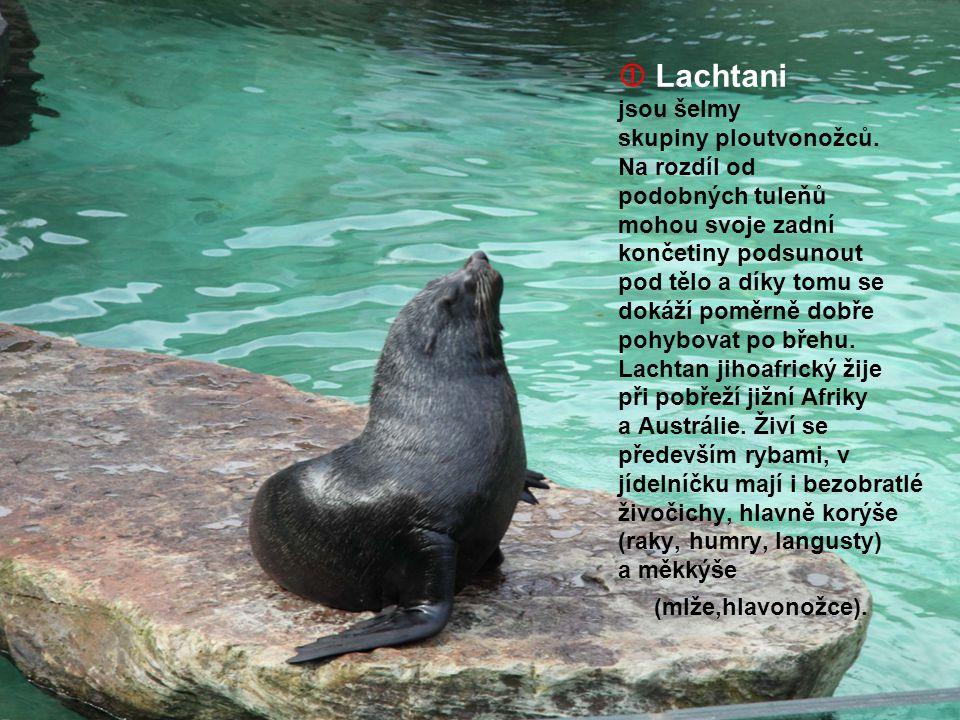  Lachtani jsou šelmy skupiny ploutvonožců. Na rozdíl od podobných tuleňů mohou svoje zadní končetiny podsunout pod tělo a díky tomu se dokáží poměrně