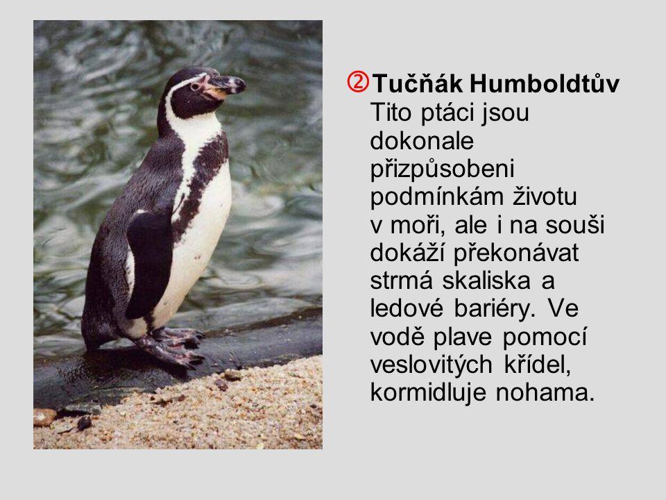  Tučňák Humboldtův Tito ptáci jsou dokonale přizpůsobeni podmínkám životu v moři, ale i na souši dokáží překonávat strmá skaliska a ledové bariéry. V