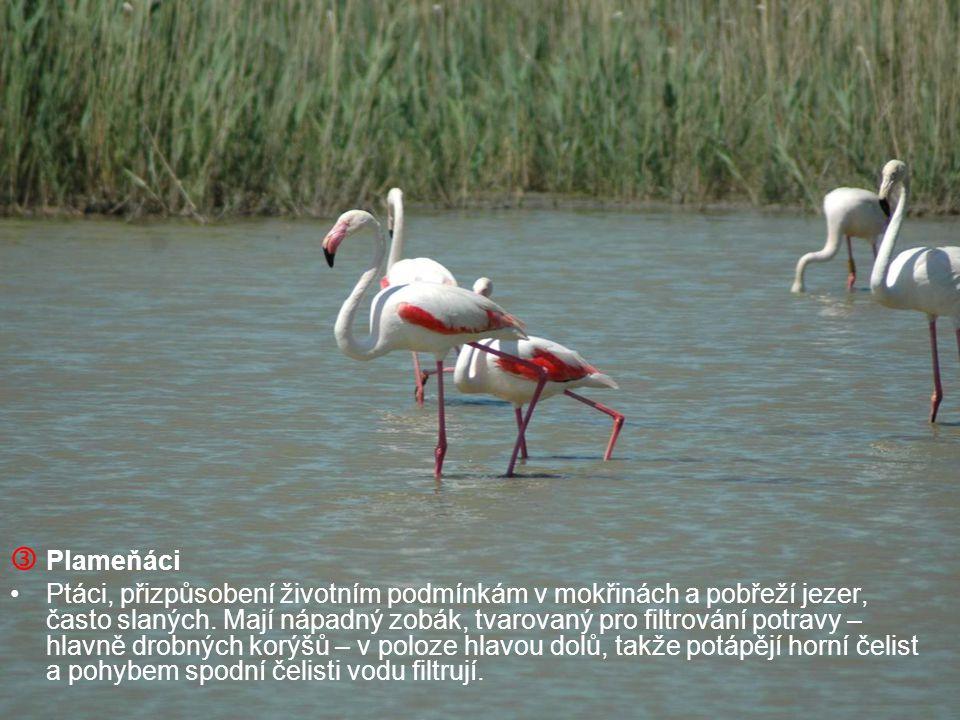  Plameňáci Ptáci, přizpůsobení životním podmínkám v mokřinách a pobřeží jezer, často slaných. Mají nápadný zobák, tvarovaný pro filtrování potravy –